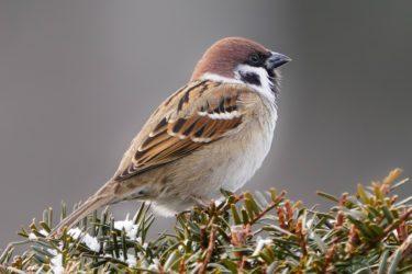 雀はどのような食べ物を食べるのか、また食べてはいけない物は