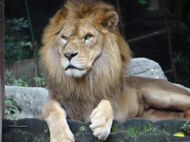 ライオンは猫と同じようにまたたびが好きなのか