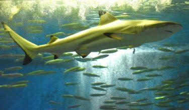 鮫は食べることが出来るのか、その種類や調理法について